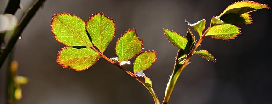 健康な薔薇の葉の写真