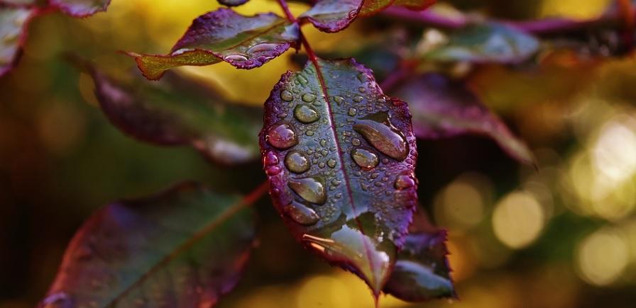 薬剤が付着した薔薇の葉