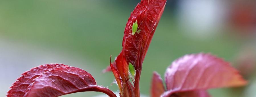 薔薇の葉とアブラムシ
