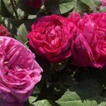 【薔薇】アントワーヌデュシェを栽培してわかった特徴を紹介