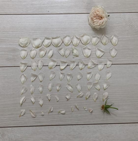 クラリスの花弁数