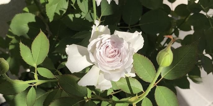 【薔薇】ガブリエルの夏剪定で注意したことを紹介します