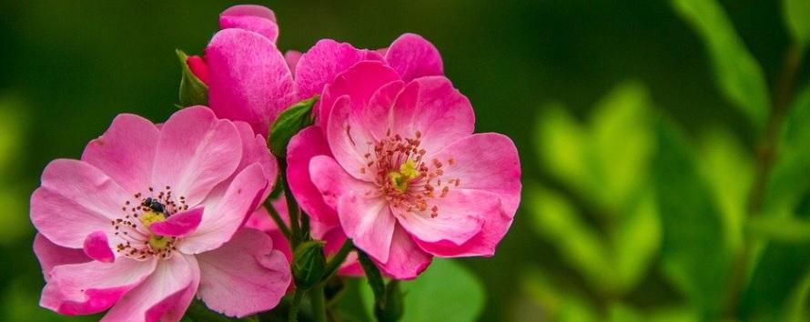 美しいピンクの薔薇