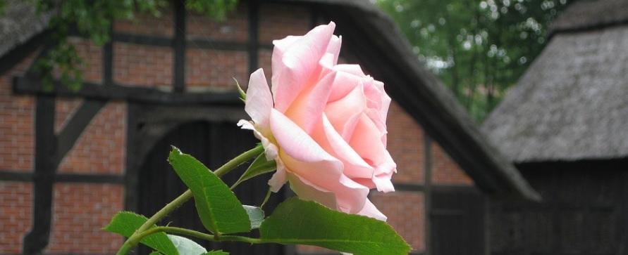 玄関で薔薇を栽培するポイントは? -玄関を華やかに飾る薔薇-