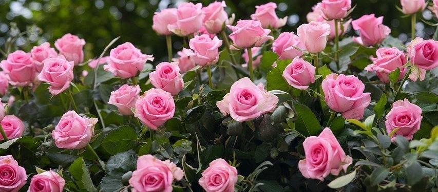 薔薇の花は季節で大きさが変わる -季節ごとの花サイズを測定-