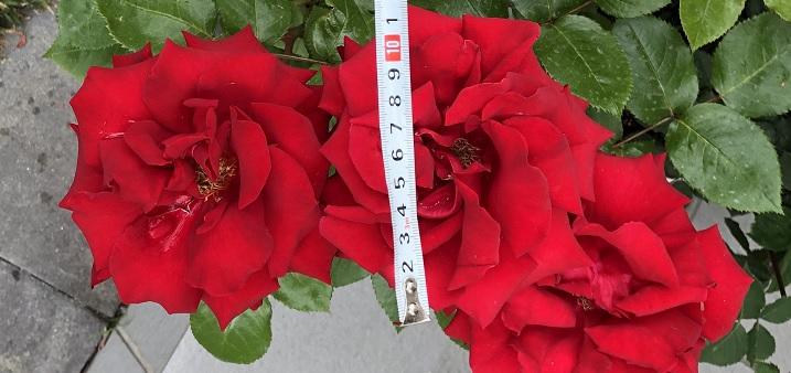 イングリッドバークマンの花サイズを測定している様子