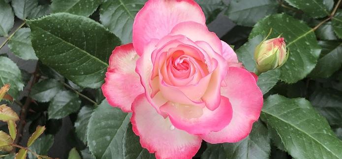 ジュビレ・デュ・プリンス・ドゥ・モナコと言う名の薔薇の写真