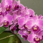 胡蝶蘭の花茎はいつ切ればいいの?