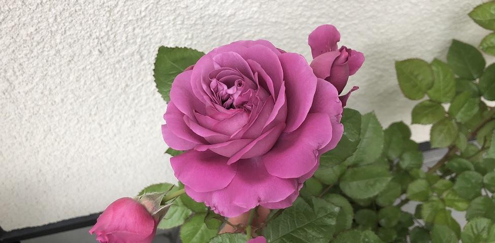 癌腫病に罹った薔薇の冬剪定と注意点