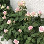 ハダニ被害を受けたミニ薔薇の回復と葉の整理