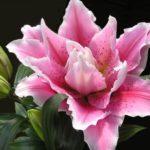 小さな鉢植えでユリの栽培に挑戦!開花までの栽培過程を紹介