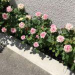 ミニ薔薇の冬剪定方法 -成長を見据えた剪定-