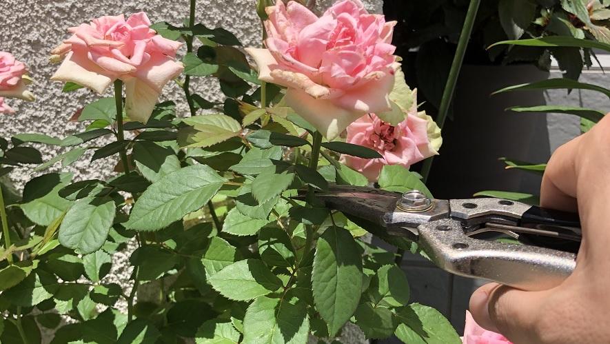 【薔薇】6月から8月は夏剪定を視野に入れた浅い剪定がお勧め