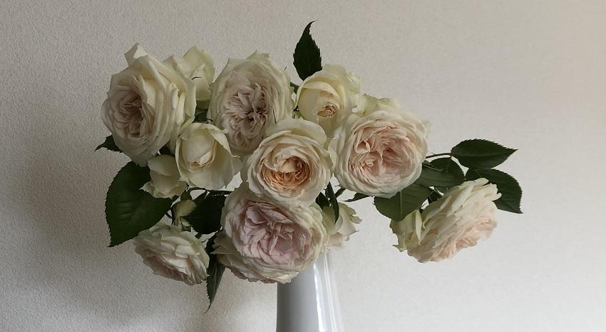 清楚な半つる薔薇「クラリス」の栽培レポートと特徴を紹介