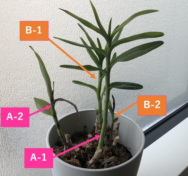 エピデンドラムの新芽の伸び方を説明した図