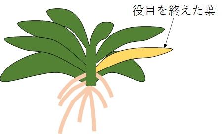 葉の黄色くなった胡蝶蘭の例