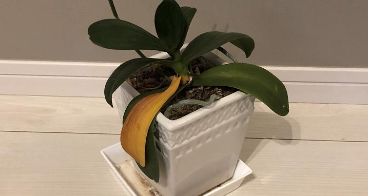 1枚だけ葉が黄色くなった胡蝶蘭の写真