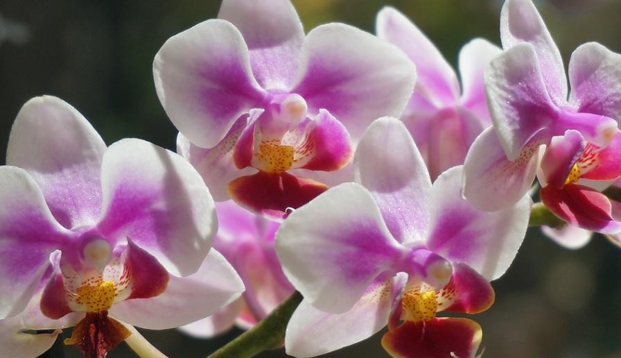 胡蝶蘭の葉が黄色くなるのは葉の寿命による原因が多い