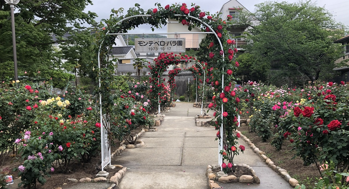 【関西の薔薇園】芦屋市「岩ヶ平公園」のモンテベロ薔薇園の紹介