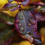 薔薇の夏バテ防止には葉に直接栄養を与える葉水も効果的