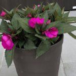 【サンパチェンス】抜群の連続開花性で夏から秋の玄関を飾る