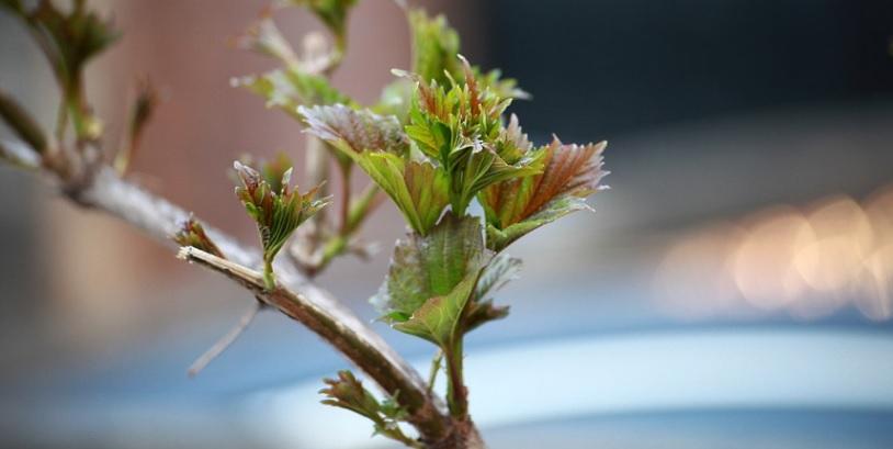 夏の芽かきで薔薇の成長調整と株の回復