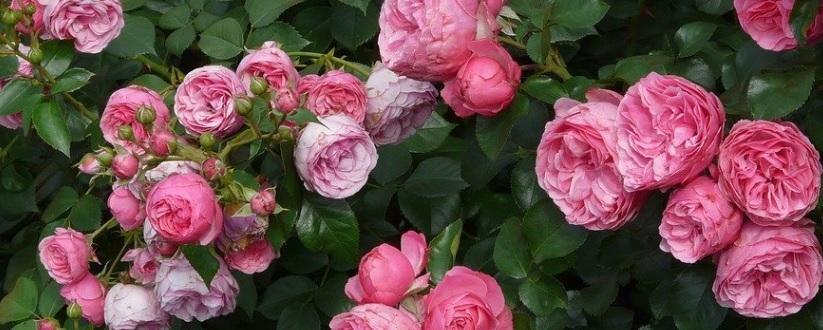 夏に薔薇を咲かせるべきか?咲かせないべきか?