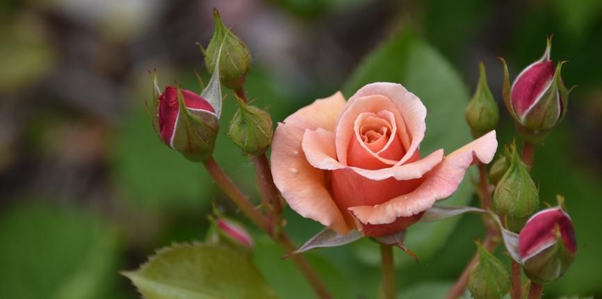 【薔薇】花後に不調の場合は摘心と芽かきで回復を!