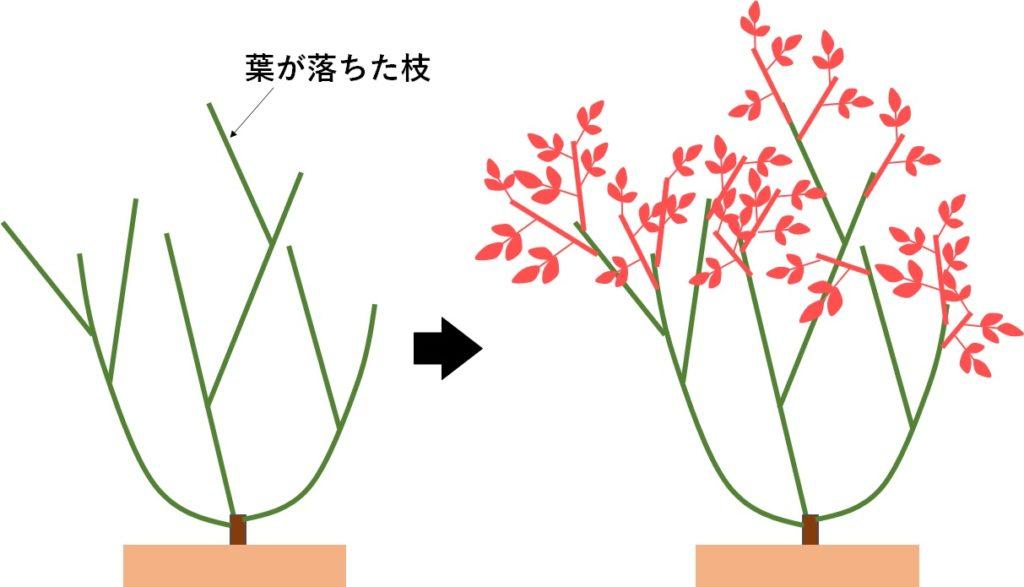 葉が落ちた薔薇と新芽の芽吹きを示す図
