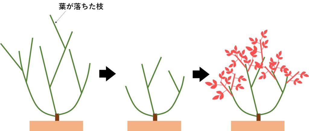 葉が無くなった薔薇を剪定した場合の樹形の変化