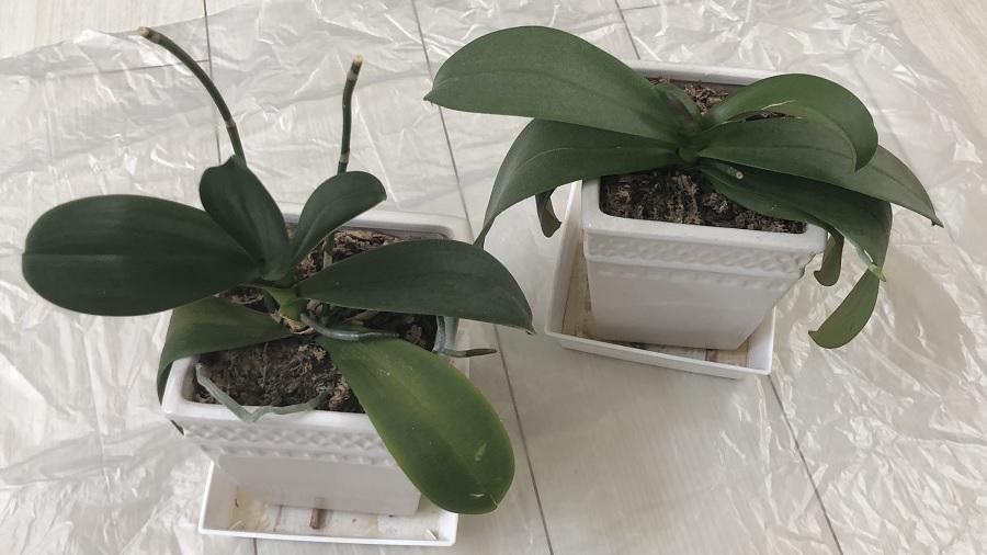 植え替え前の胡蝶蘭の写真