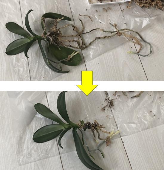 水苔を除去した胡蝶蘭