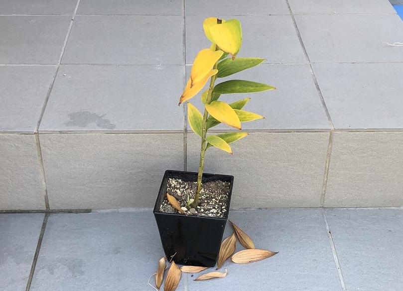 葉が黄色く変色し球根の堀り上げのタイミングになったユリの状態