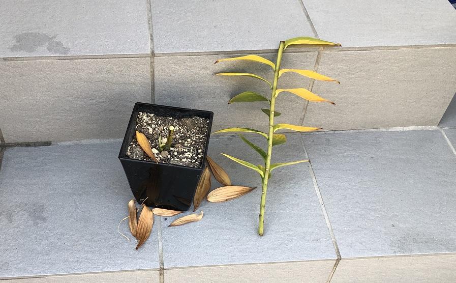 茎を切り落としたユリの鉢植え