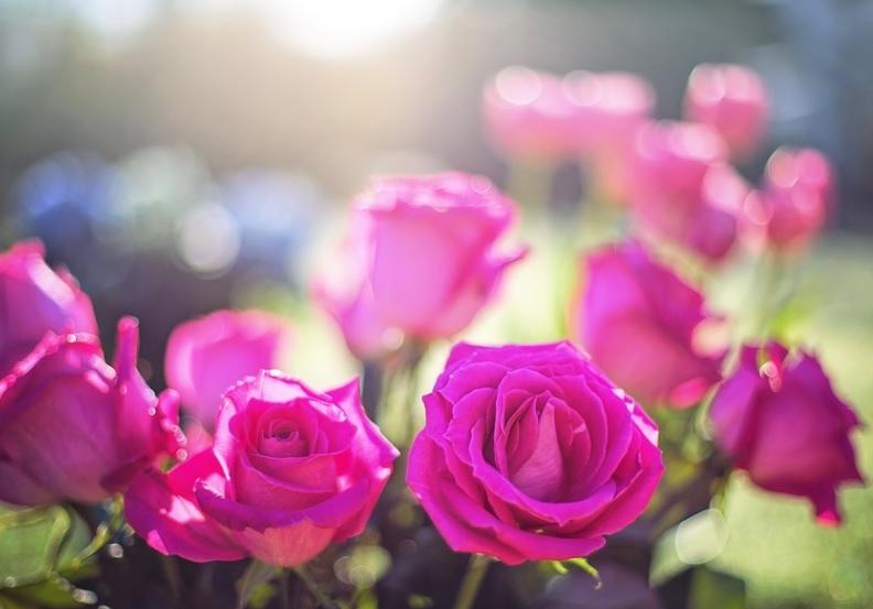 アスファルトに近い花壇の薔薇にはハダニが発生しやすい