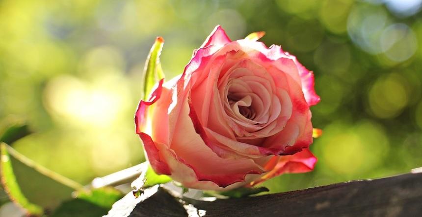 薔薇の夏剪定の最適時期は気候変動で変化している