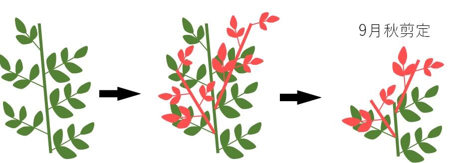 理想的な新芽の生え方