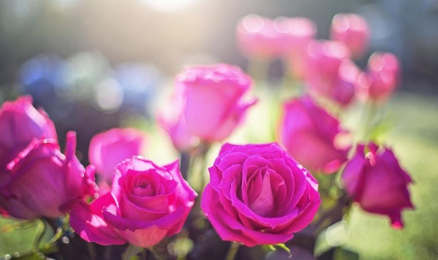 【薔薇】夏は新芽を処理してバランスの良い樹形を目指す!
