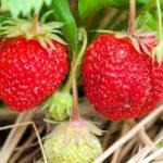 四季なりで耐病性ある苺「ドルチェベリー」をプランターで栽培