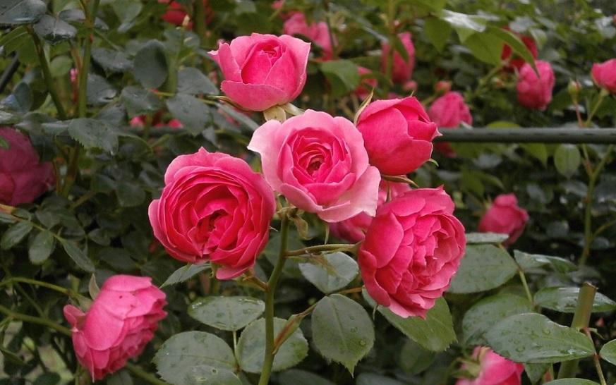 夏剪定後のミニ薔薇は芽かきの作業もお忘れなく!