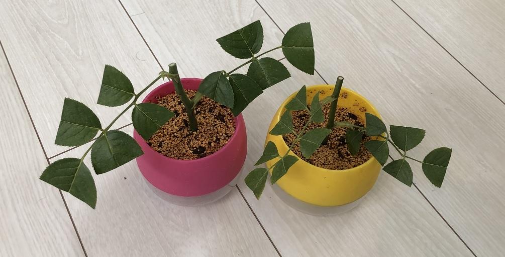 【薔薇】ガブリエルの挿し木に挑戦!成長過程も紹介