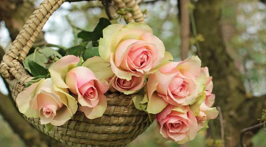 秋薔薇を一斉に咲かせるには品種ごとの夏剪定時期の調整が必要