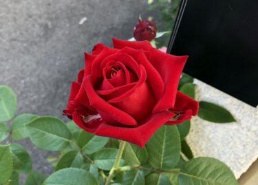 【秋の薔薇】花後のお勧めの剪定法を御紹介