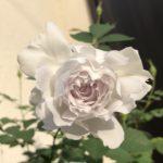 【薔薇】秋のガブリエルが開花!その特徴や秋の管理方法を紹介