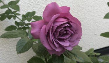 癌腫病から回復した薔薇が開花!癌腫は克服可能