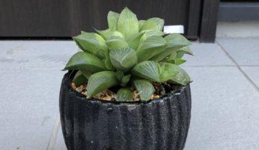 【多肉植物】ハオルチアの植替え方法を写真入りで紹介します
