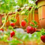 苺のランナーを使った苗の増やし方 -写真入りで詳しく紹介-