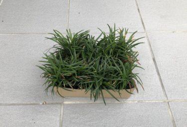 タマリュウの植栽で玄関前に緑を導入
