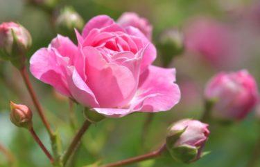 薔薇の蕾が突然落ちてしまう理由・原因とは?