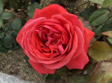 【薔薇】こんなに違う!春と秋の薔薇の色変化!